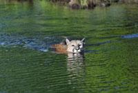 Mountain Lion Swimming. Minnesota,USA 11030027608| 写真素材・ストックフォト・画像・イラスト素材|アマナイメージズ