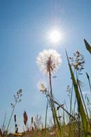 Sunlight and Dandelions