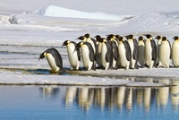 Emperor Penguins, Snow Hill Island, Antarctica 11030032002| 写真素材・ストックフォト・画像・イラスト素材|アマナイメージズ