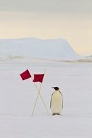 Emperor Penguin near Red Flags, Antarctica 11030032012| 写真素材・ストックフォト・画像・イラスト素材|アマナイメージズ