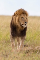 Portrait of Male Lion, Masai Mara National Reserve, Kenya