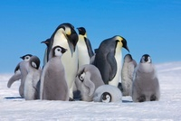 Emperor Penguins and Chicks, Atka Bay, Weddell Sea, Antarcti
