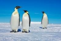 Emperor Penguins, Akta Bay, Weddell Bay, Antarctica 11030032255| 写真素材・ストックフォト・画像・イラスト素材|アマナイメージズ