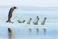 Emperor Penguin with Chicks on way to Rookery, Snowhill Isla