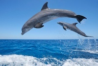 Common Bottlenose Dolphins Jumping in Sea, Roatan, Bay Islan