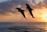 Common Bottlenose Dolphins Jumping in Sea at Sunset, Roatan,