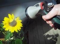 Spraying Sunflower, Toronto, Ontario, Canada