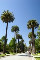 Palm Tree Lined Street, Beverly Hills, Los Angeles County, C