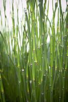 Close-up of Bamboo, Toronto Botanical Garden, Toronto, Ontar 11030033026| 写真素材・ストックフォト・画像・イラスト素材|アマナイメージズ