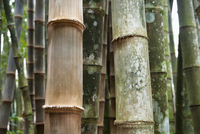Close-up of Bamboo Trees, Botanical Gardens, Rio de Janeiro, 11030033643| 写真素材・ストックフォト・画像・イラスト素材|アマナイメージズ