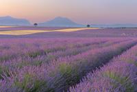 English Lavender Fields, Valensole, Valensole Plateau, Alpes 11030034453| 写真素材・ストックフォト・画像・イラスト素材|アマナイメージズ