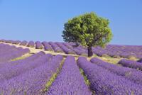 Tree in English Lavender Field, Valensole, Valensole Plateau