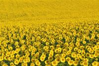 Sunflower Field, Arnstein, Main-Spessart, Franconia, Bavaria 11030035179| 写真素材・ストックフォト・画像・イラスト素材|アマナイメージズ