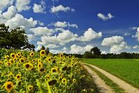 Sunflowers, Black Forest, Schwarzwald-Baar, Baden-Wurttember