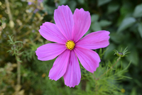 Close-up of Garden Cosmos, (Cosmos bipinnatus), Upper Palati