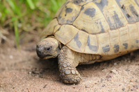 Hermann's tortoise (Testudo hermanni boettgeri) walking arou 11030037553| 写真素材・ストックフォト・画像・イラスト素材|アマナイメージズ