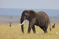 African Bush Elephant (Loxodonta africana) Bull in Savanna,