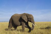 African Bush Elephant (Loxodonta africana) in Savanna, Maasa