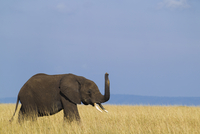 African Bush Elephant (Loxodonta africana) Calf with Raised