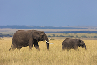 African Bush Elephant (Loxodonta africana) Mother with Calf,