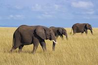 African Elephants (Loxodonta africana) in Savanna, Maasai Ma