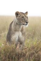 Lioness (Panthera leo) in the Rain, Maasai Mara National Res