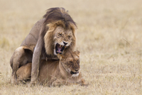 African lions (Panthera leo) mating, Maasai Mara National Re