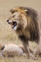 African lion (Panthera leo), Maasai Mara National Reserve, K