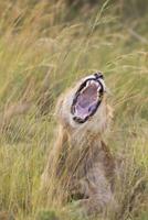 Young male lion (Panthera leo) yawning, Maasai Mara National