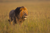 Big male lion (Panthera leo) in early morning light, Maasai
