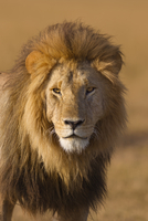 Portrait of a big male lion (Panthera leo), Maasai Mara Nati