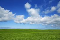 Wheat Field (Triticum) and Cumulonimbus Clouds, Lemvig, Region Midtjylland, Jutland, Denmark
