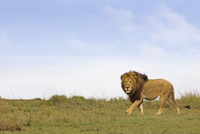 Male Lion (Panthera leo) in Savanna, Masai Mara National Reserve, Kenya