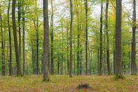 European Beech (Fagus sylvatica) Forest in Autumn, Nature park, Spessart, Bavaria, Germany, Europe 11030041944| 写真素材・ストックフォト・画像・イラスト素材|アマナイメージズ