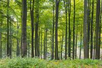 European Beech (Fagus sylvatica) Forest in Autumn, Nature Park, Spessart, Bavaria, Germany 11030041947| 写真素材・ストックフォト・画像・イラスト素材|アマナイメージズ