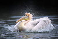 Close-up of White Pelican (Pelecanus onocrotalus) taking a Bath, Germany