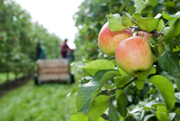 Apples on tree in foreground with farmers harvesting in background, Germany 11030043034| 写真素材・ストックフォト・画像・イラスト素材|アマナイメージズ