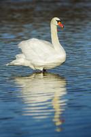 Mute swan (cygnus olor) at noon, Munich, Upper Bavaria, Bavaria, Germany 11030043202| 写真素材・ストックフォト・画像・イラスト素材|アマナイメージズ