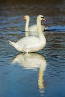 Mute swans (cygnus olor) at noon, Munich, Upper Bavaria, Bavaria, Germany 11030043203| 写真素材・ストックフォト・画像・イラスト素材|アマナイメージズ