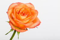 Close-up of Rose with Water Drops on White Background