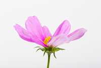 Close-up of Pink Cosmea Flower on White Background