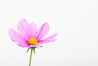 Pink Cosmea Flower on White Background 11030043271| 写真素材・ストックフォト・画像・イラスト素材|アマナイメージズ