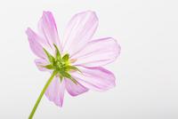Pink Cosmea Flower on White Background 11030043272| 写真素材・ストックフォト・画像・イラスト素材|アマナイメージズ