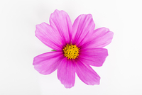 Pink Cosmea Flower on White Background