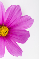 Close-up of Pink Cosmea Flower on White Background 11030043274| 写真素材・ストックフォト・画像・イラスト素材|アマナイメージズ