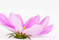 Close-up of Pink Cosmea Flower on White Background 11030043275| 写真素材・ストックフォト・画像・イラスト素材|アマナイメージズ