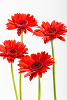 Red Gerbera Daisies on White Background
