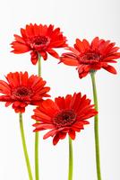 Red Gerbera Daisies on White Background 11030043276| 写真素材・ストックフォト・画像・イラスト素材|アマナイメージズ