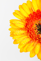 Close-up of Yellow Gerbera Daisy on White Background