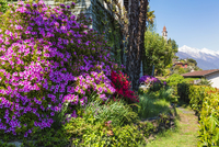 Blooming Azalea in a garden above the lake, spring, Ronco sopra Ascona, Lago Maggiore, Switzerland